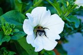 A Large Bumblebee Collects Pollen From A Petunia Flower With White Petals And Green Leaves. poster