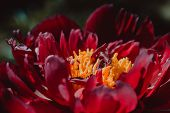 Bloomed Peony Flower Close Up. Floral Background. Green Thumb Concept. Home Gardening. Botanical Gar poster
