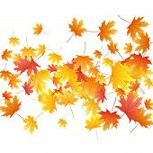 Maple Leaves Vector Background, Autumn Foliage On White Graphic Design. Canadian Symbol Maple Red Or poster