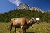 stock photo of moo-cow  - Cow in Alpe Veglia italian natural park and Monte Leone in background Piemonte Italy - JPG