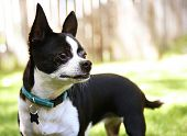 stock photo of applehead  - a cute chihuahua enjoying the outdoors - JPG