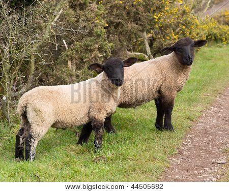 Black face sheep