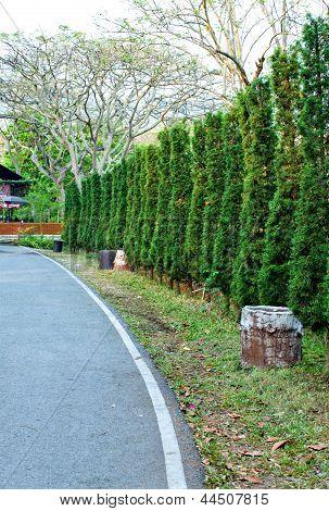 Pine Trees Beside The Street