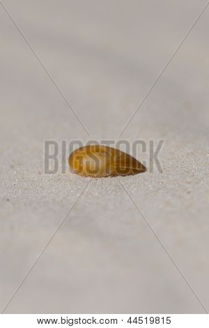 Baby's Ear shell on white sand