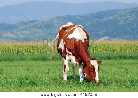 Holstein Cow Grazing On Fresh Grass Field