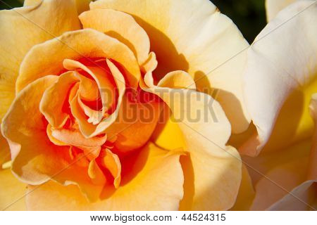 Closeup of a Peach Rose