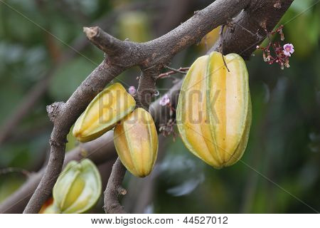 Carambola Or Starfruit Is The Fruit In Thailand
