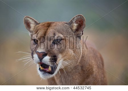 Open Mouthed Lion