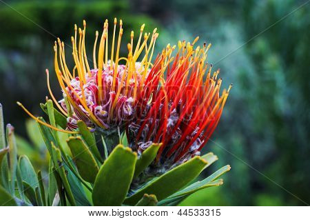 King Protea At The Kirstenbosch Botanical Garden