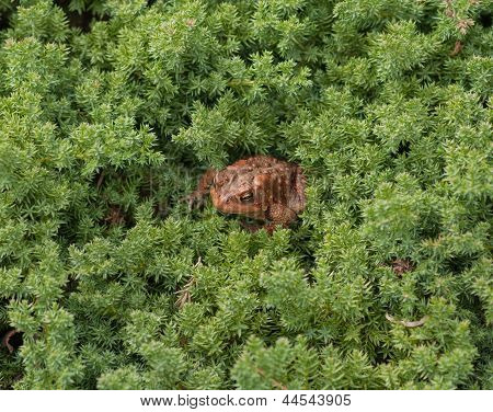 Brown Garden Toad