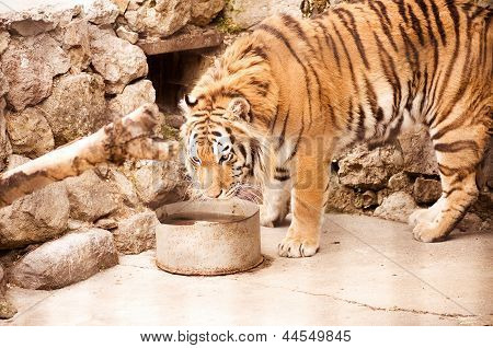 A tiger in a zoo enclosure drinking water