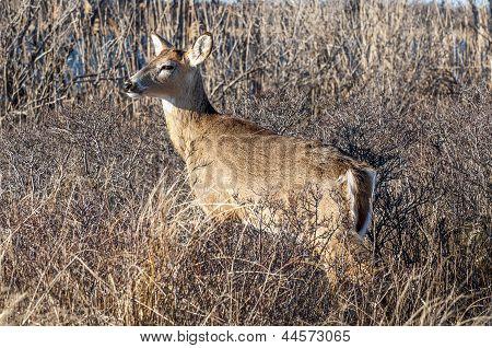 Deer 5171