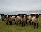 foto of suffolk sheep  - Sheep with black face and legs in a line - JPG