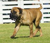 picture of english-mastiff  - A beautiful reddish brown medium sized Bullmastiff dog walking on the lawn - JPG