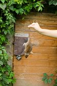foto of dead mouse  - woman hand hold dead rat on background of rural wooden basement cellar door - JPG