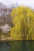 stock photo of weeping willow tree  - A weeping willow tree by the lake in Sayen Park HamiltonNew Jersey - JPG