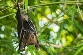 stock photo of bat wings  - Bat hanging upside - JPG
