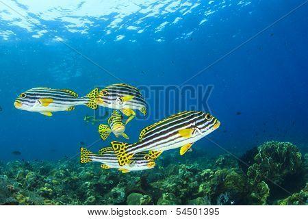 School of Fish underwater on coral reef: Oriental Sweetlips