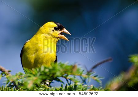 Male American Goldfinch Singing In The Sunshine