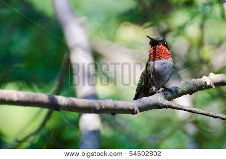 Male Ruby-throated Hummingbird Perched In A Tree