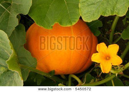 Pumpkin At The Field