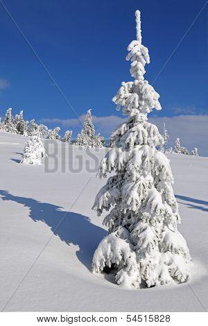 Fir-tree Under Snow