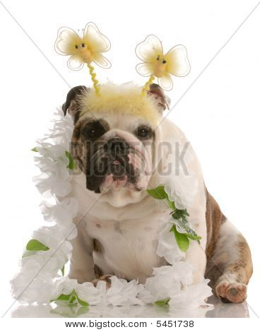 Bulldog With Butterfly Ears