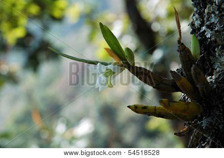 Wild Orchid, Euang Sae Doi Pui