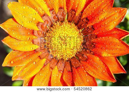Gazania flower with dew drops or rain drops.