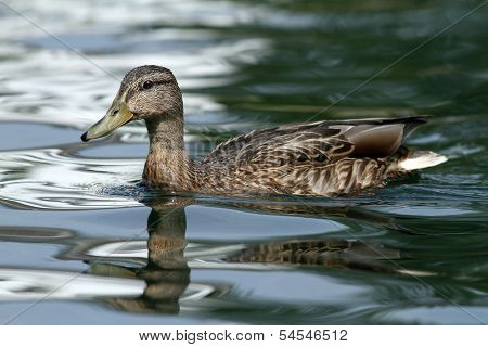 Female Mallard Duck On Water