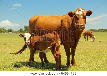 Mother Cow & Calf