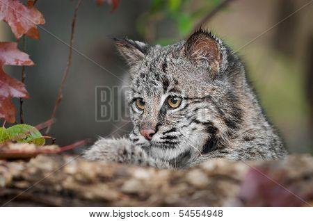 Bobcat Kitten (Lynx rufus) Looks Over Log