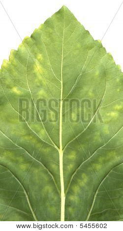 Green Leave Macro Isolated On White