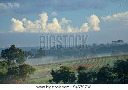 Margaret River Vines #3
