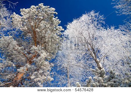 Trees In The Winter Covered With Snow