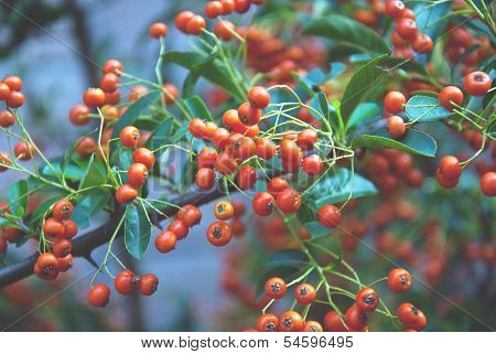 Bunch Of Ripe Ashberry