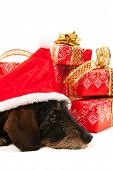 foto of long-haired dachshund  - Wire haired dachshund with red hat of Santa Claus isolated over white background - JPG