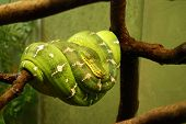 image of tree snake  - Photo of Australian green tree python on a branch - JPG