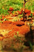 pic of fire ant  - Ants nest with green grass in nature