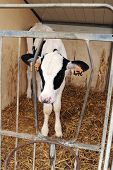 picture of slaughter  - Cute small black and white holstein male calf confined to a small pen for fattening up for slaughter so that it cannot move around developing muscle and can be sold as tender veal - JPG