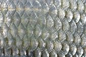 picture of fish skin  - background fish roach skin with silver scales - JPG