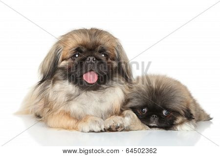 Pekinese Mother With Puppy