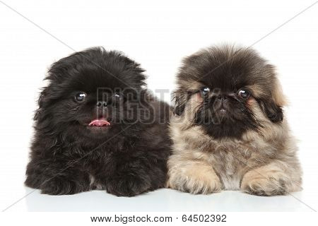 Pekinese Puppies Posing In Studio