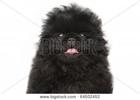 Pekinese Puppy Close-up Portrait