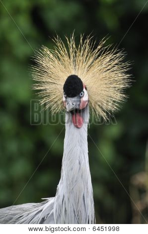 Crowned Crane - Balearica pavonina