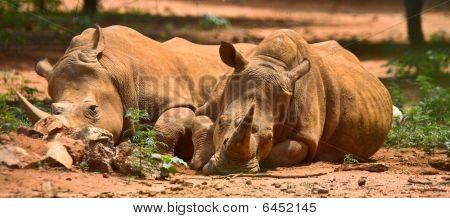 Resting Rhinos