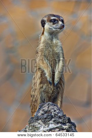 Alert Suricate or Meercat