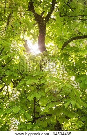 Flowering chestnut tree (Aesculus hippocastanum) with sun