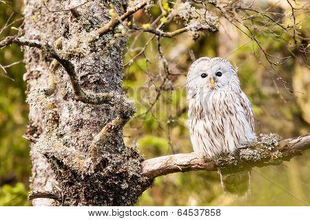 The Ural Owl Strix Uralensis
