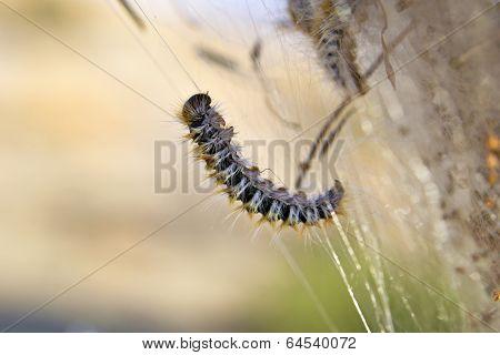Processionary larvae macro